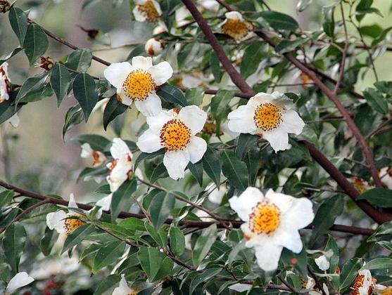 Sp. Yunnanensis