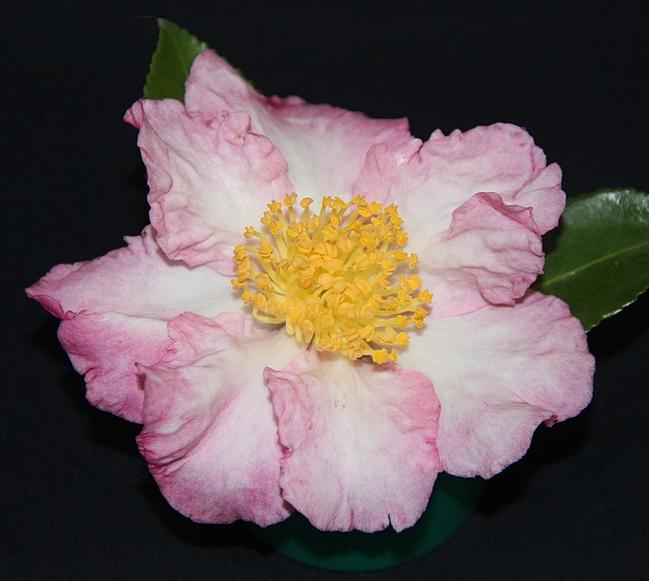 S. Apple Blossom