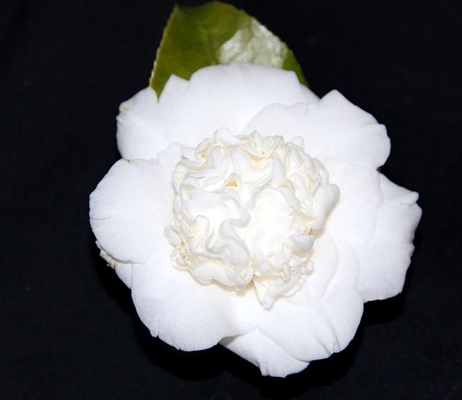 J. White Waratah