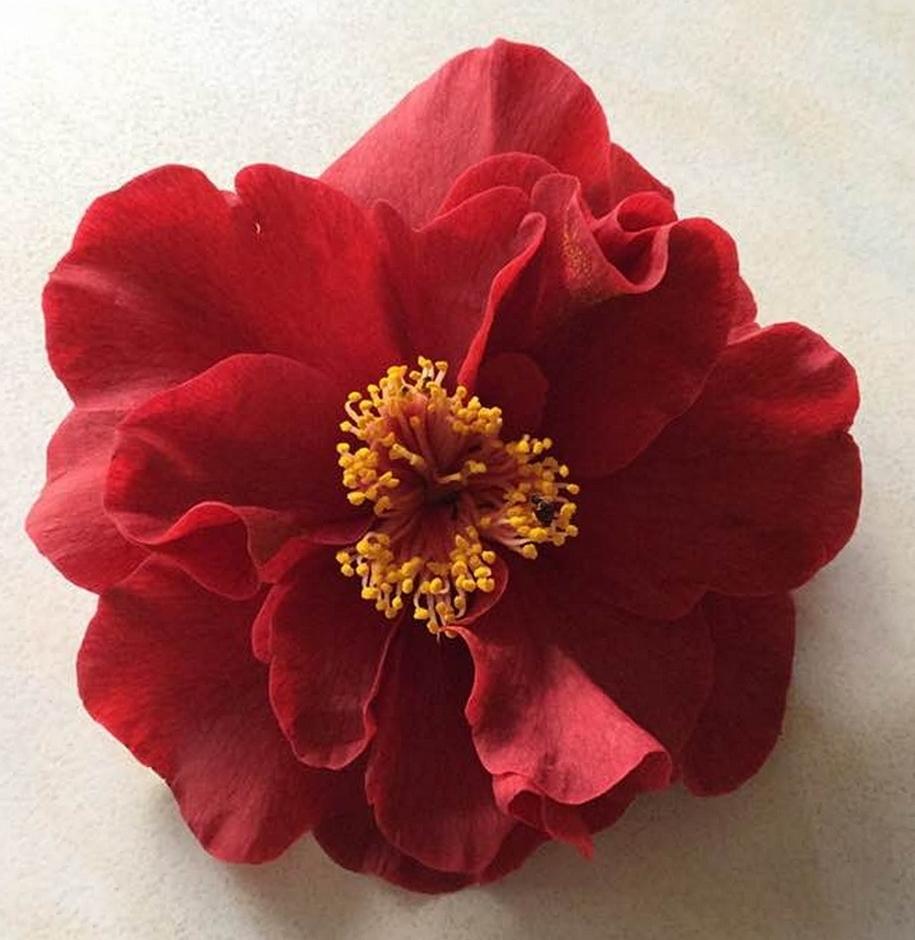 Camellia Japonica Roger Hall japonica — camellias victoria inc.
