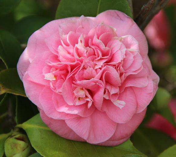 J. Evelyn Poe Pink