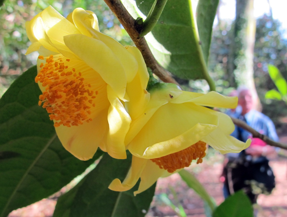 Sp. Nitidissima