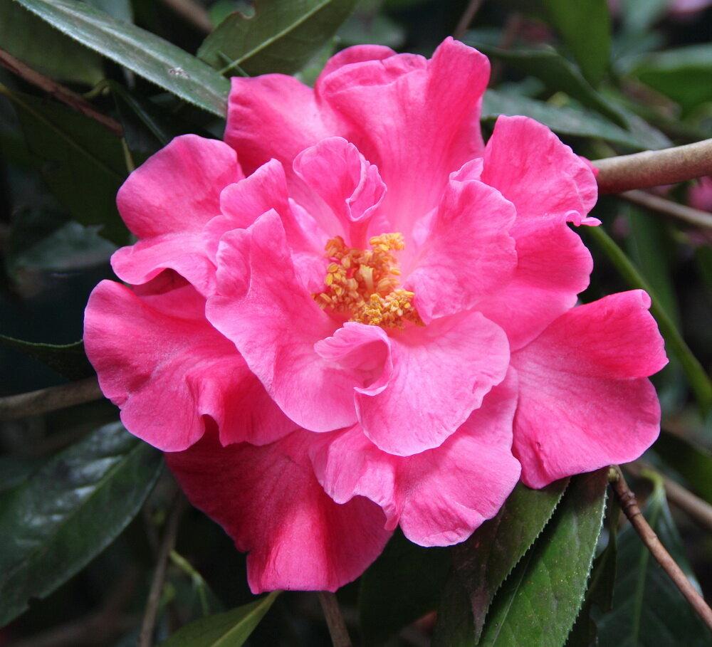 R. Raspberry Glow