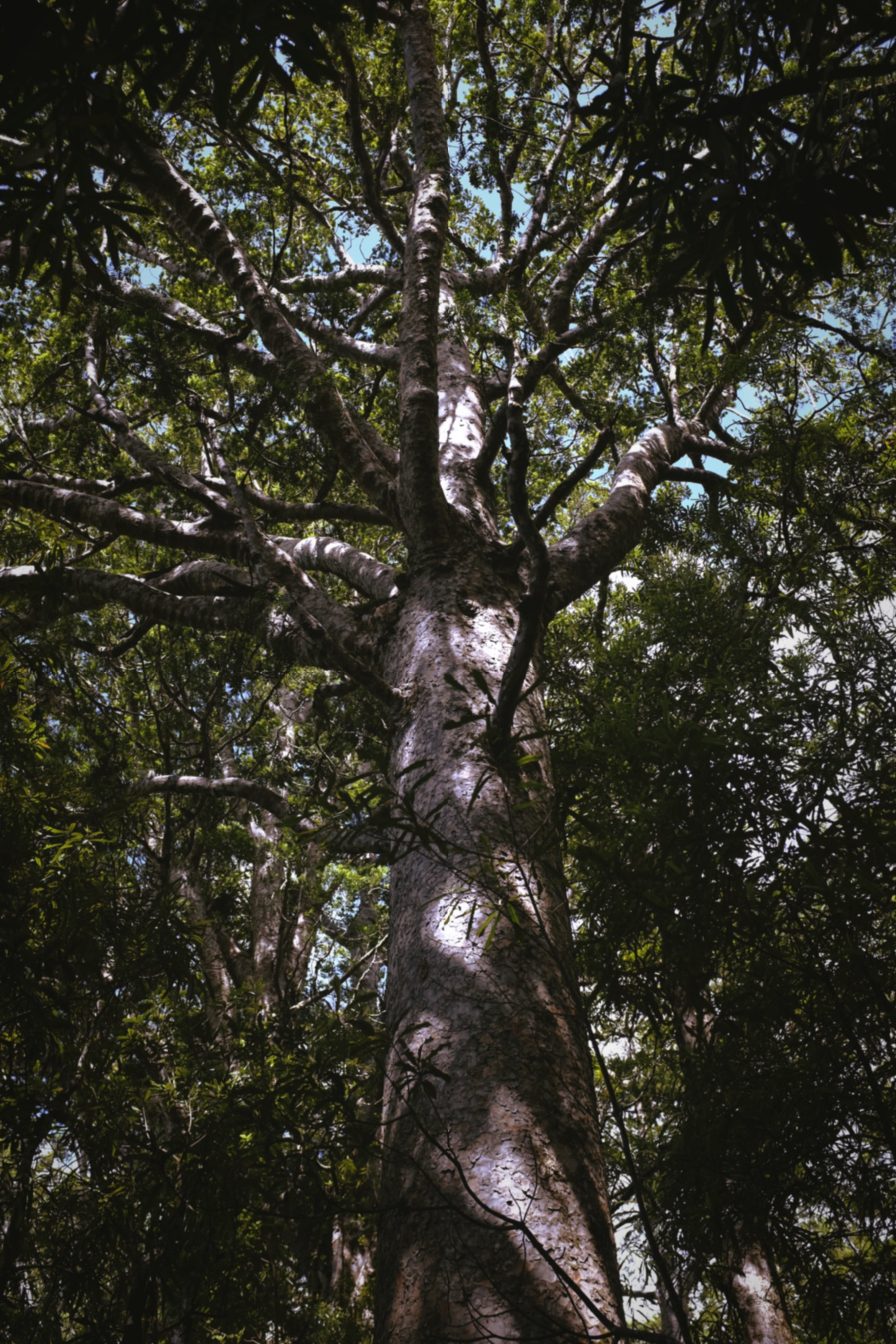 A magnificent Kauri