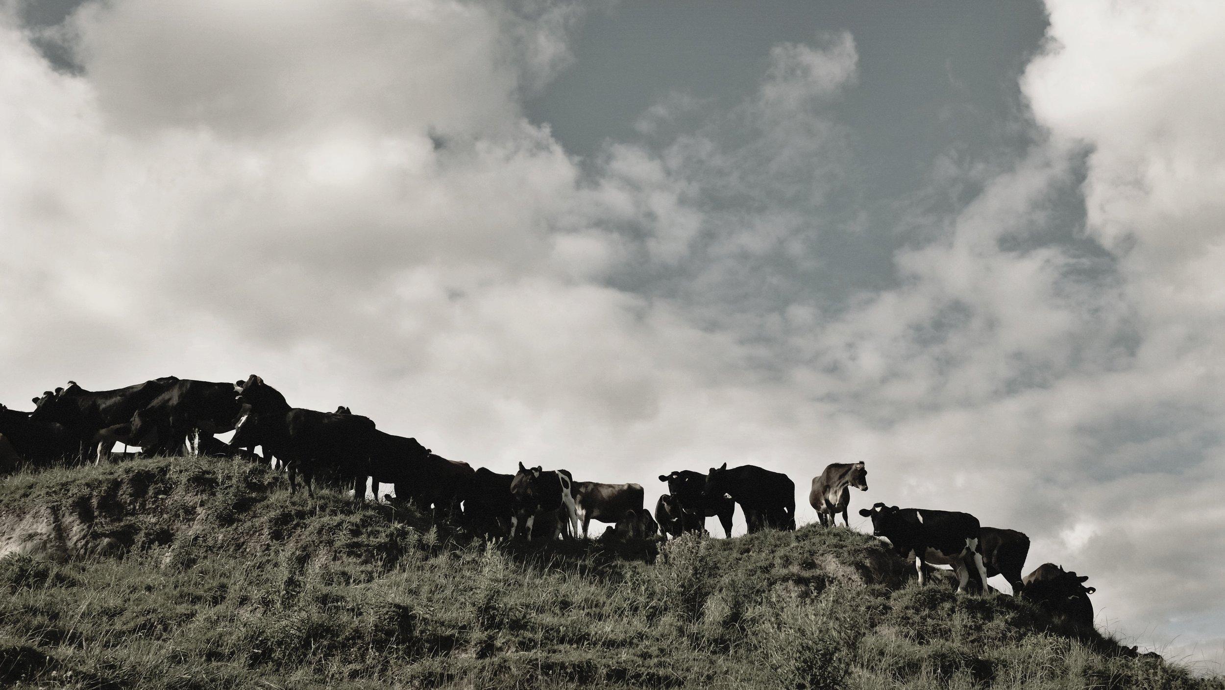 Epic cows.