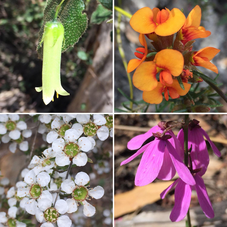 Wildflowers of the Grampians: Hairy Correa (Correa aemula); Showy Parrot-Pea (Dillwynia sericea); Ti-Tree (Leptospermum); Pink Bells (Tetratheca ciliata)