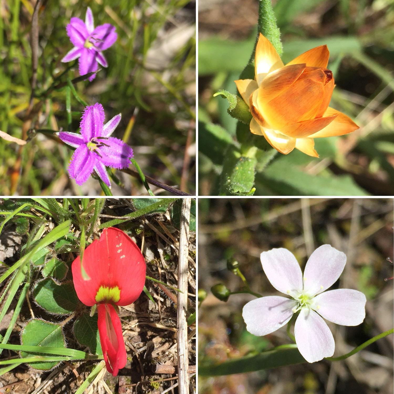 Wildflowers of the Grampians: Common Fringe Lily (Thysanotus patersonii); Golden Everlasting Daisy (Xerochrysum bracteatum); Running Postman (Kennedia prostrata); Pale Sundew (Drosera peltata)