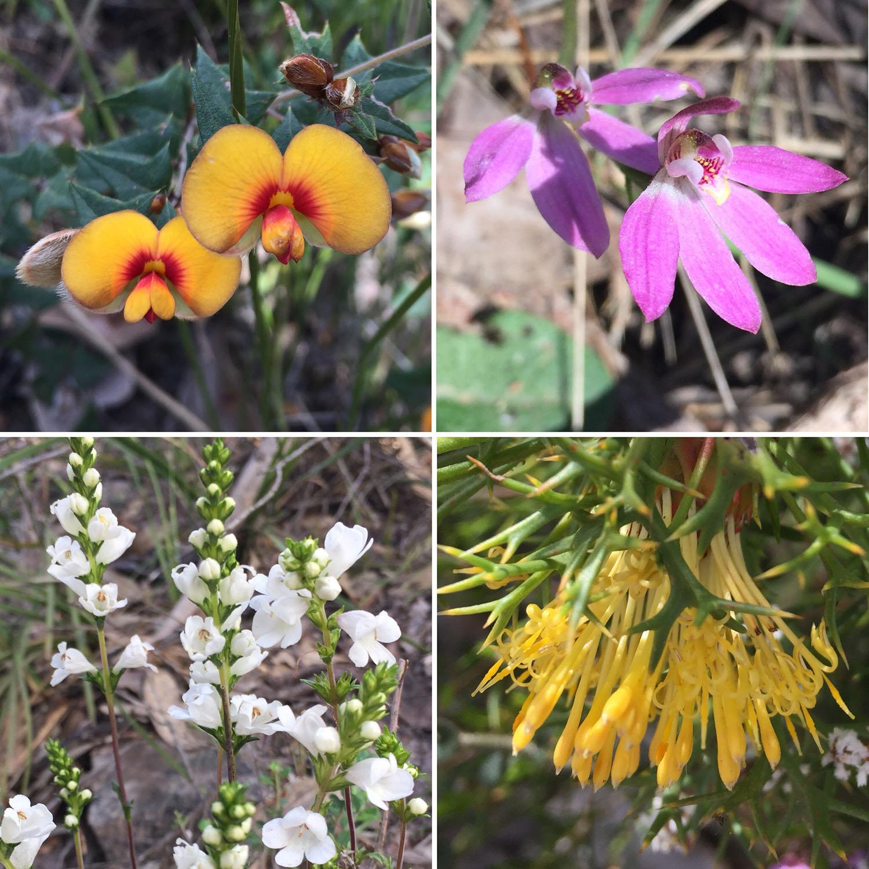 Wildflowers of the Grampians: Common Flat-Pea (Platylobium obtusangulum); Dusky Fingers (Caladenia fuscata); Victorian Christmas Bush (Prostanthera lasianthos ); Horny Cone Bush (Isopogon ceratophyllus)
