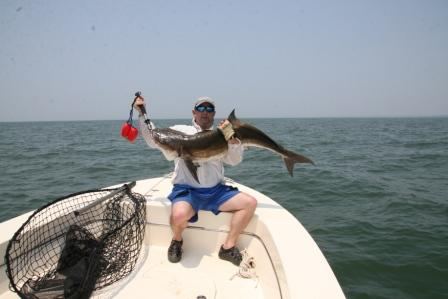 Cobia are popular gamefish in Virginia and North Carolina waters, with growing interest in Maryland's part of the Bay. NOAA Fisheries announced beginning March 21 the Atlantic States Marine Fisheries Commission will be responsible for managing cobia. (Photo by Capt. Chris D. Dollar/CD Outdoors)