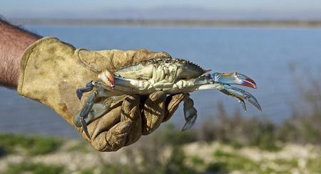 invasive blue crab spain.jpg