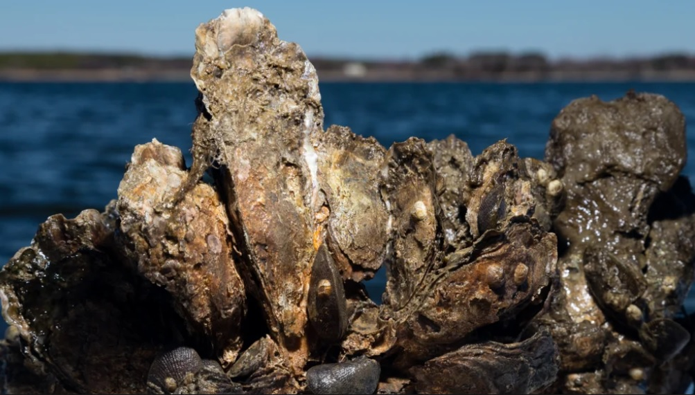 A restored oyster reef. Photo: Chesapeake Bay Program