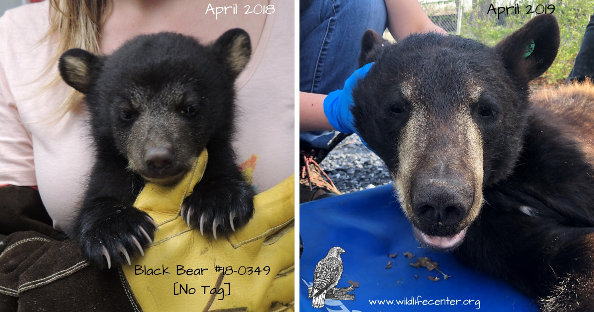 "The ""before and after"" shots of a cub rescued in April 2018, after his mother was hit and killed by a car. One year later, he looks a lot different! Photos: Wildlife Center of Virginia"