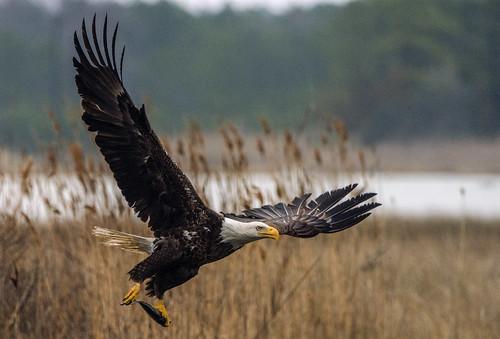bald eagle eastern shore joseph h soares jr.jpg
