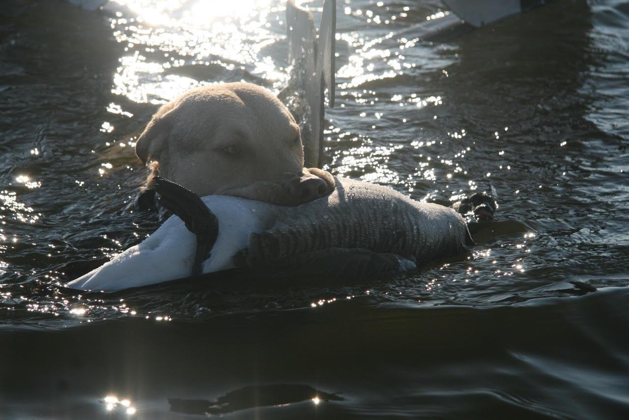 canada goose limit wild chesapeake.jpg