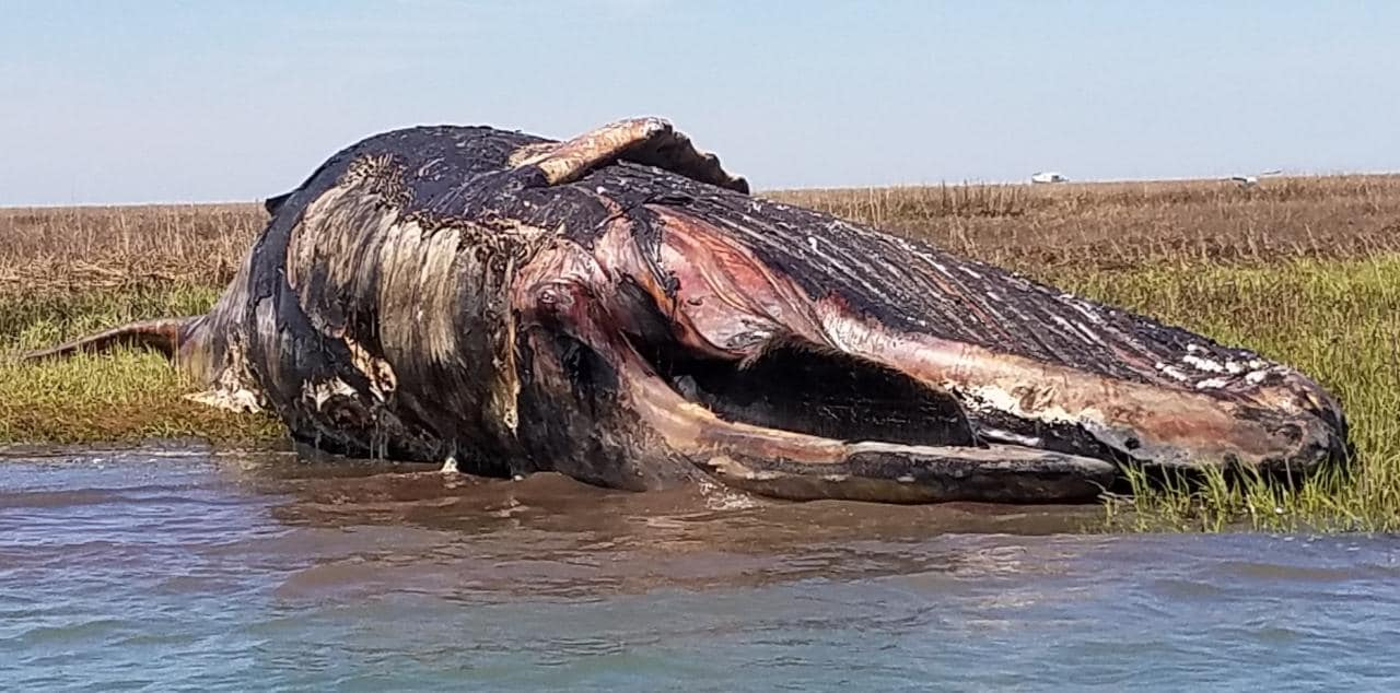 R&C Seafood in Oyster, Virginia posted this photo of a humpback whale carcass back in April. R&C Seafood/ Facebook