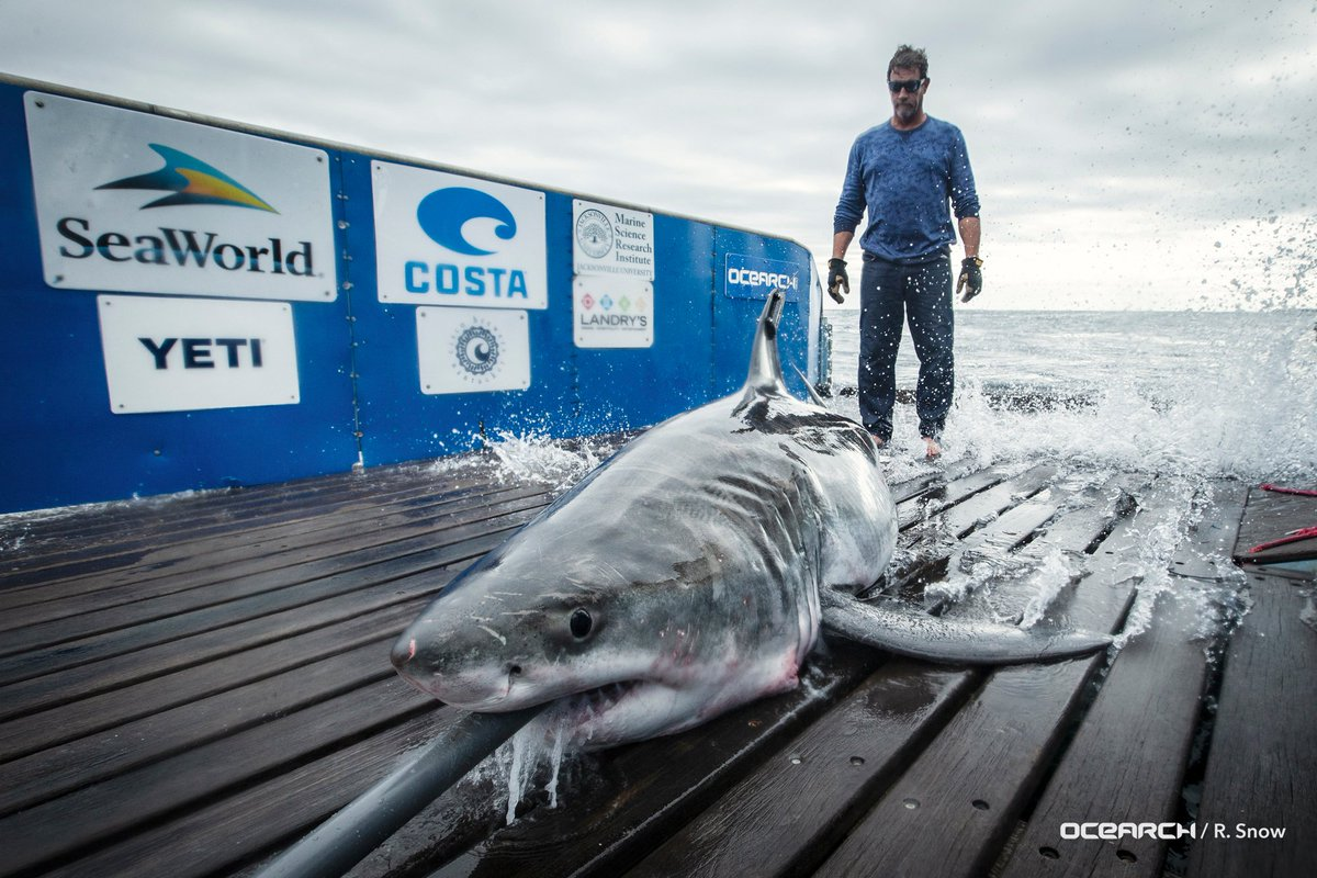 great white shark cabot close up.jpg