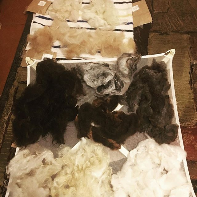 Yule is the time we celebrate the 12 days from Winter Solstice (Dec 21) to the New Year (Jan 1). Today my Yule Raw Fiber Breed Study package came in the mail! 12 little brown paper packages each neatly labeled with study sheets. They're all washed up and drying. Lovely! #yule #fiberbreedstudy #yuletide #thetipsyspinster