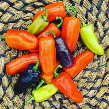Pippin's Golden Honey Pepper, grown from seeds found in the freezer of African American folk artist Horace Pippin, more than 15 years after his passing.