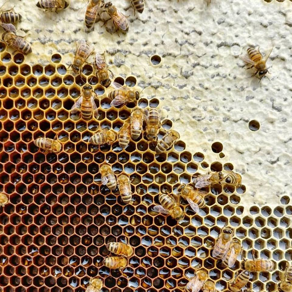 bees on comb.jpg