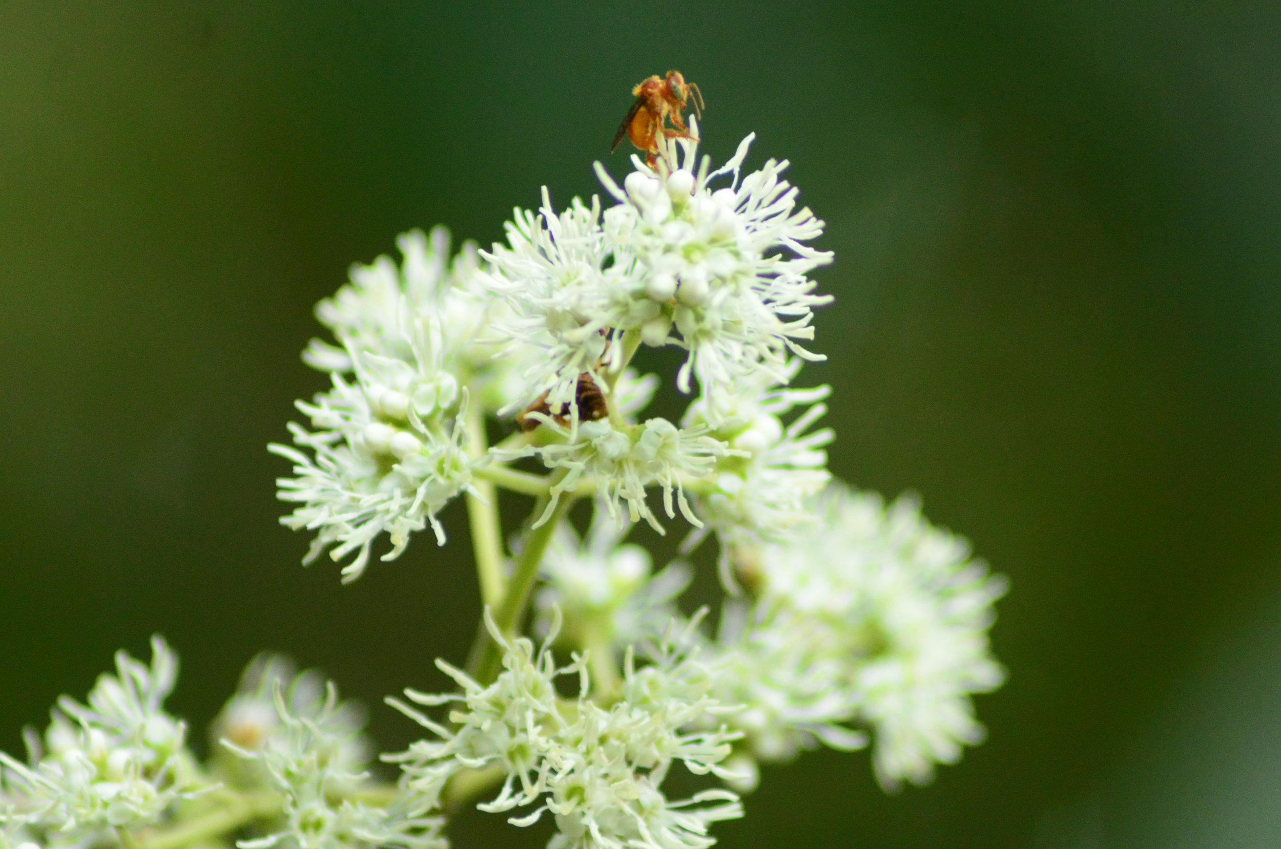 A  Trigona muzoensis  bee pollinates a  Miconia affinis  inflorescence in Gamboa, Panama. May 2016.