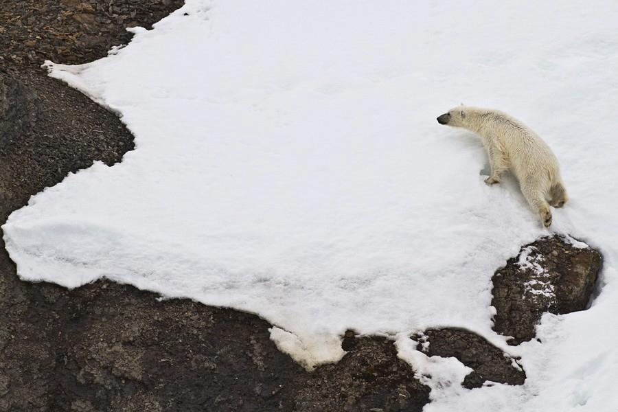 Polar Bear Invades Bird Colony