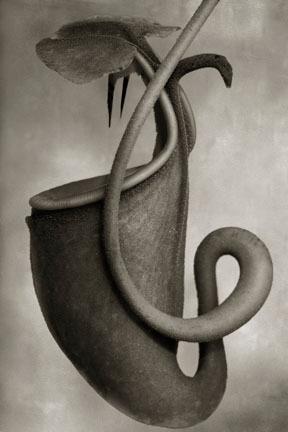 Nepenthes Bicalcarata