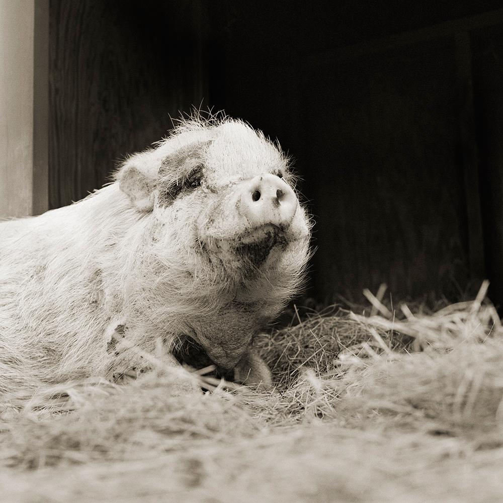Violet, Potbellied Pig, Age 12