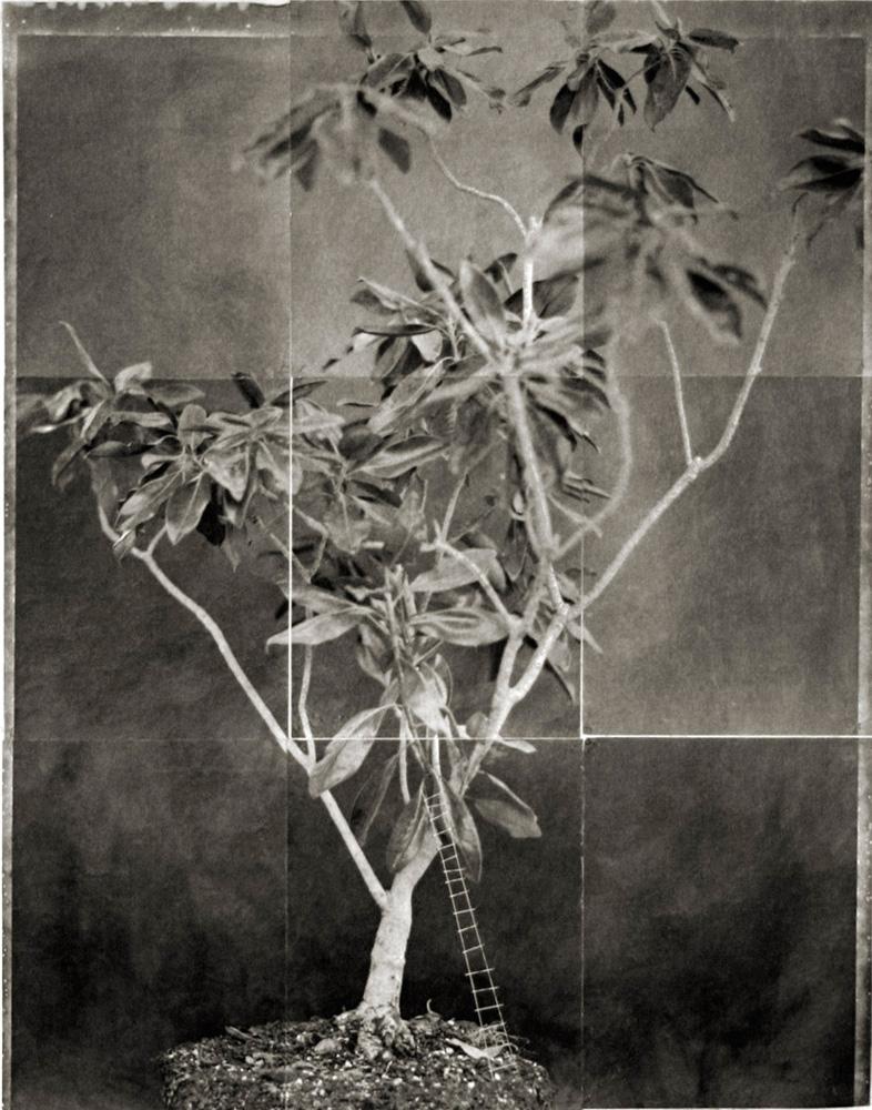 Magnolia Tree – Ladder
