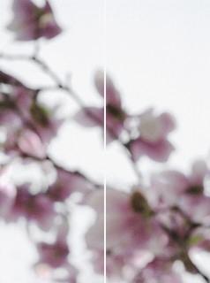 Magnolia No. 2