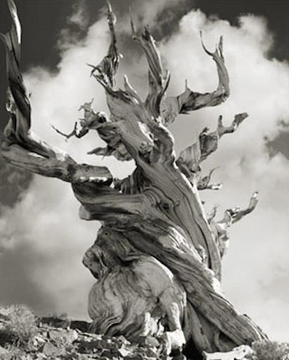 Bristlecone Pine Relic