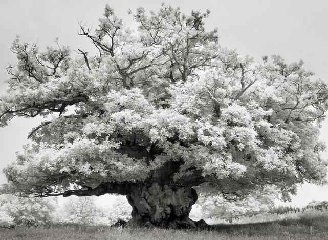 Chestnut in Cowdry Park