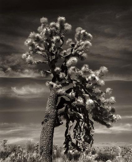 Joshua Tree Weeping