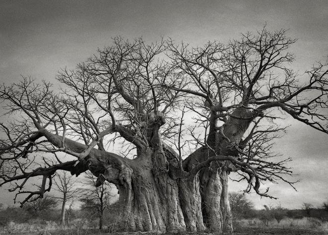 The Bufflesdrift Baobab