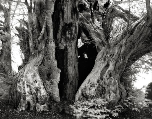 The Linton Yew