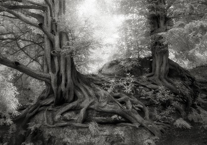 The Yews of Wakehurst