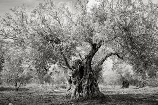 Zalmon Olive Trees 4