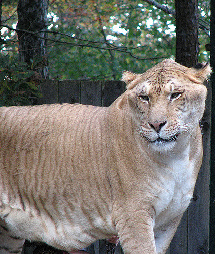 The Liger: apparently a thing that actually exists in the world (Photo credit:http://ow.ly/NRgK30c4CSQ).