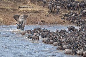elephant_wildebeest_migration_2.jpg