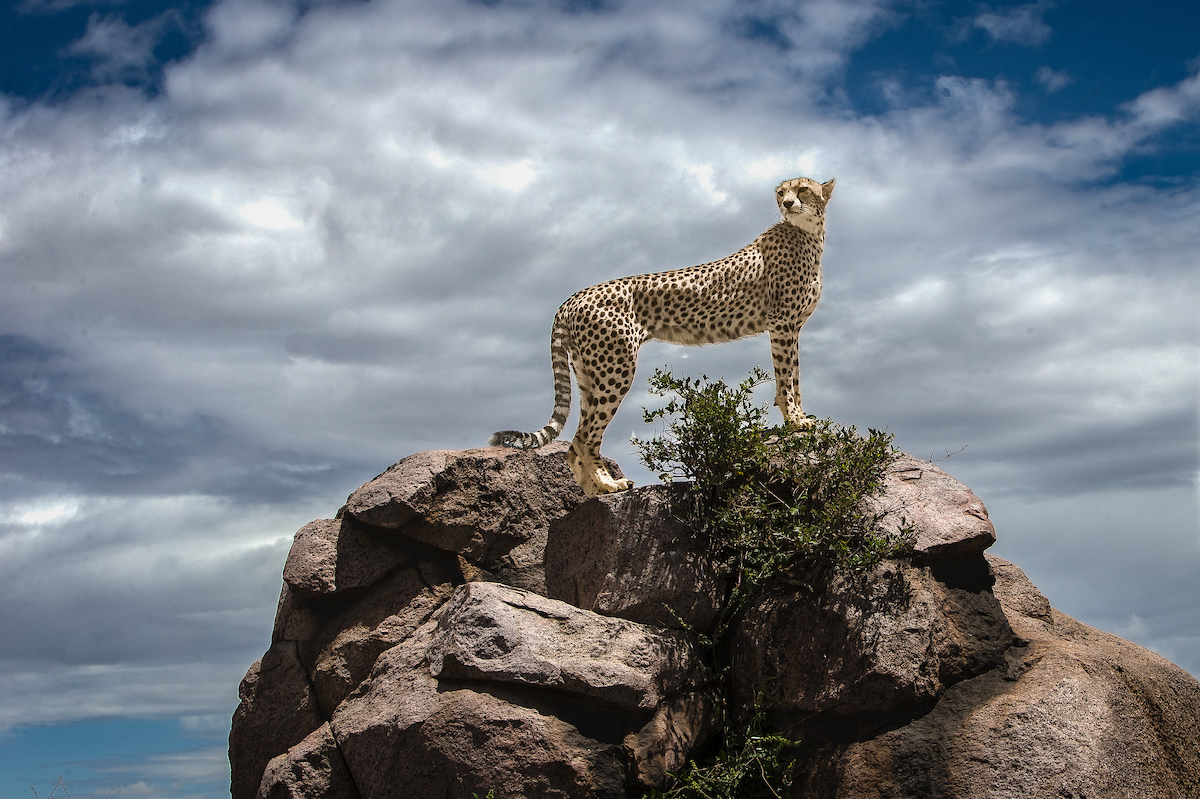 Cheetah_rock_1.jpg