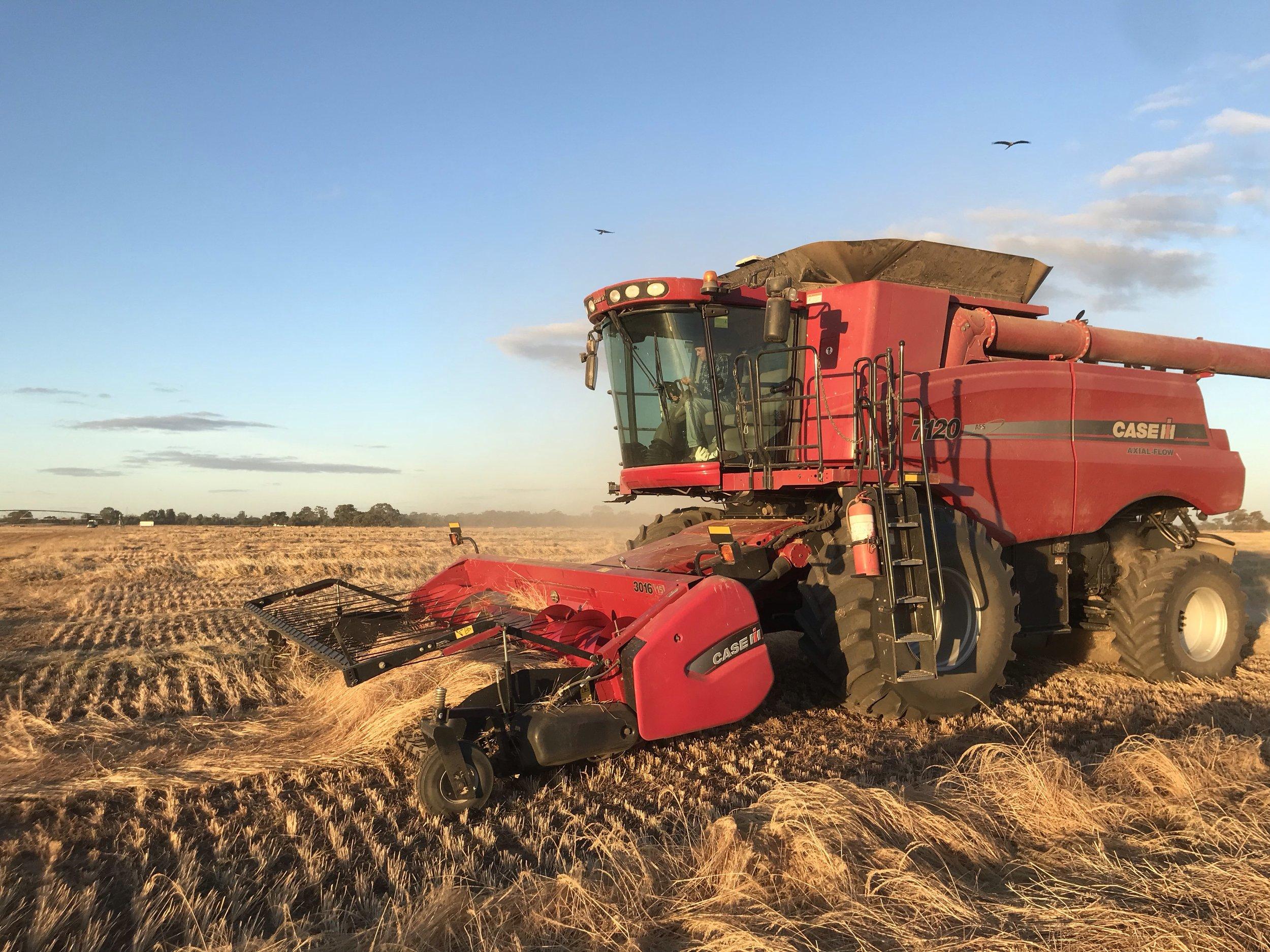 Teff Harvest 2019.jpg