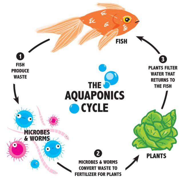the-aquaponics-cycle.jpg