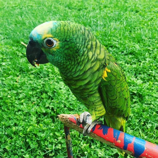 Lucy going for a walk #greenparrot #bluefrontamazonparrot #spring #pet