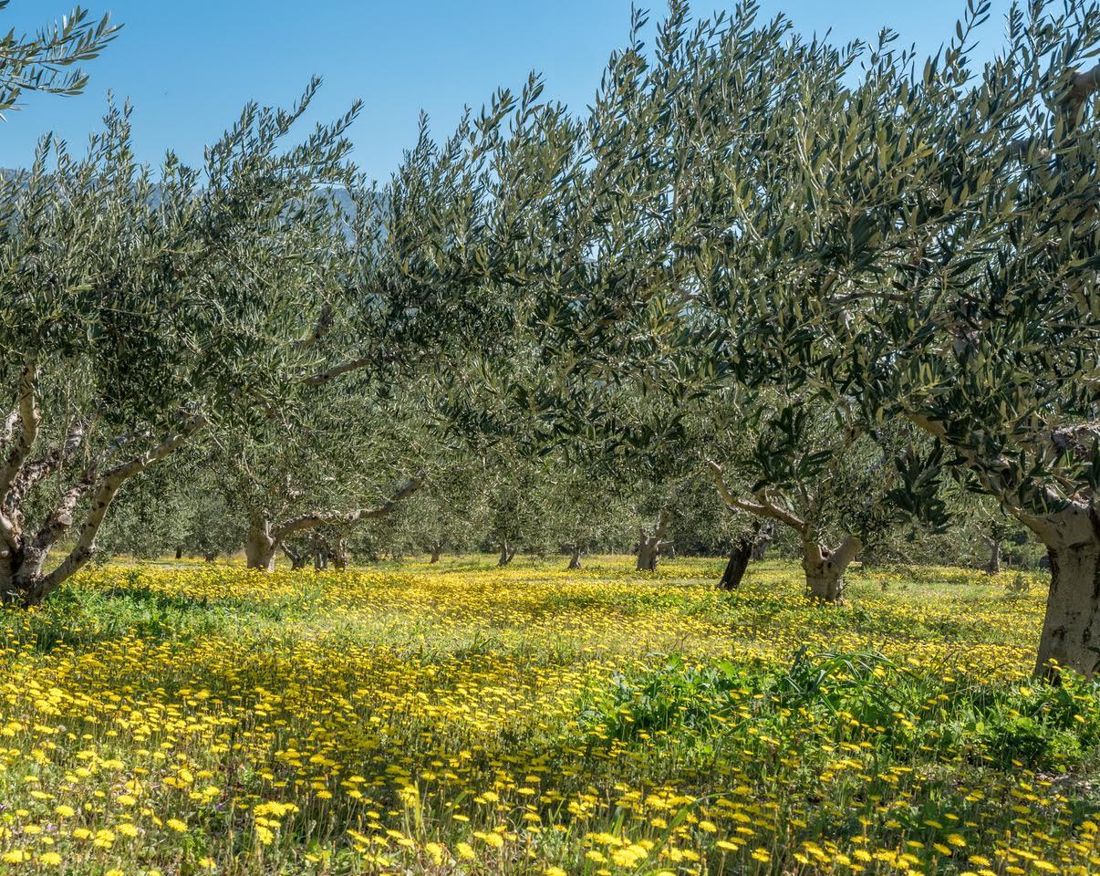 Olive trees in spring.jpg