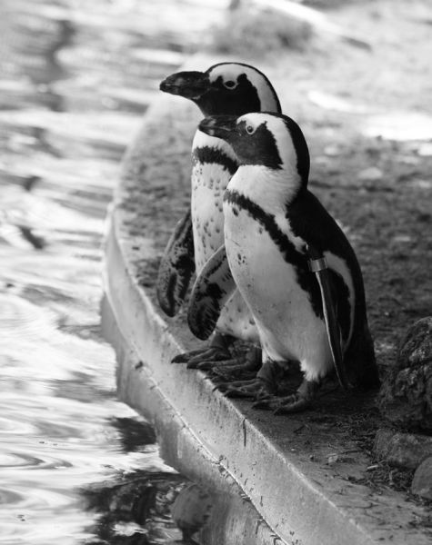 penguin couple.jpg