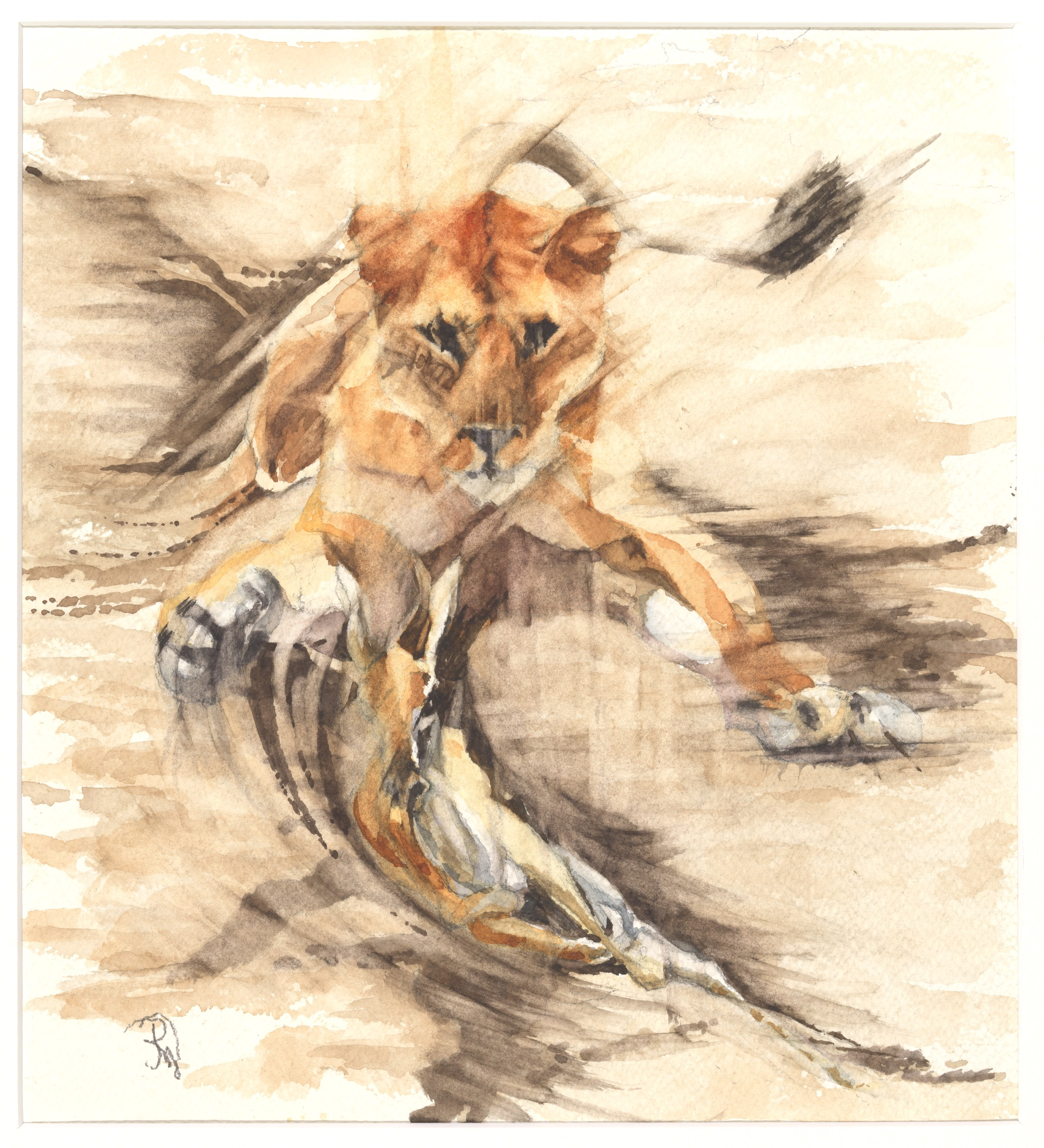 Lioness Hunting Antelope