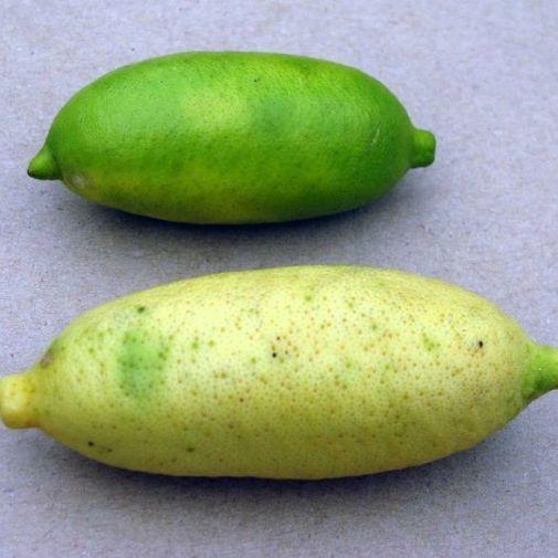 Faustrime frutto acerbo e maturo