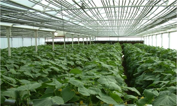 Oman Cucumbers.jpg