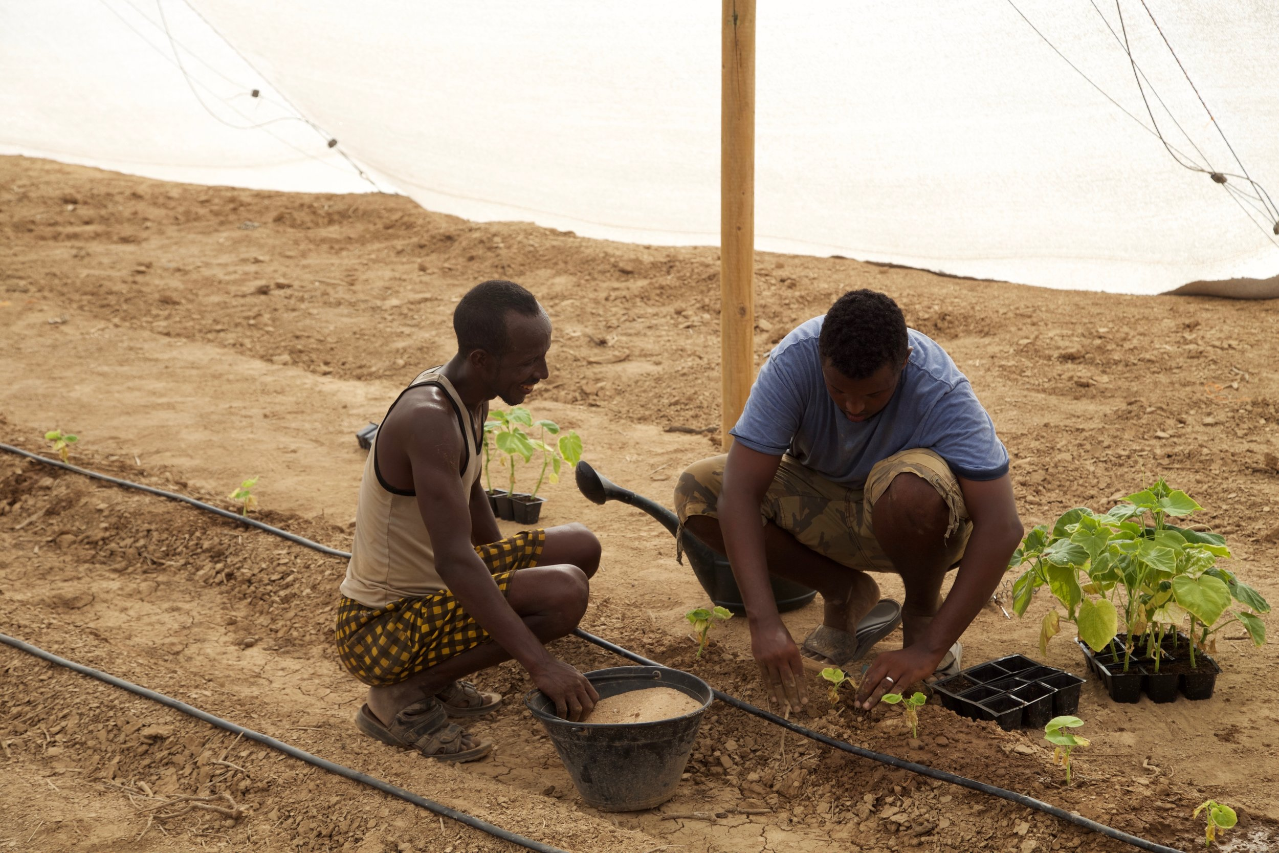 Transplanting the crops