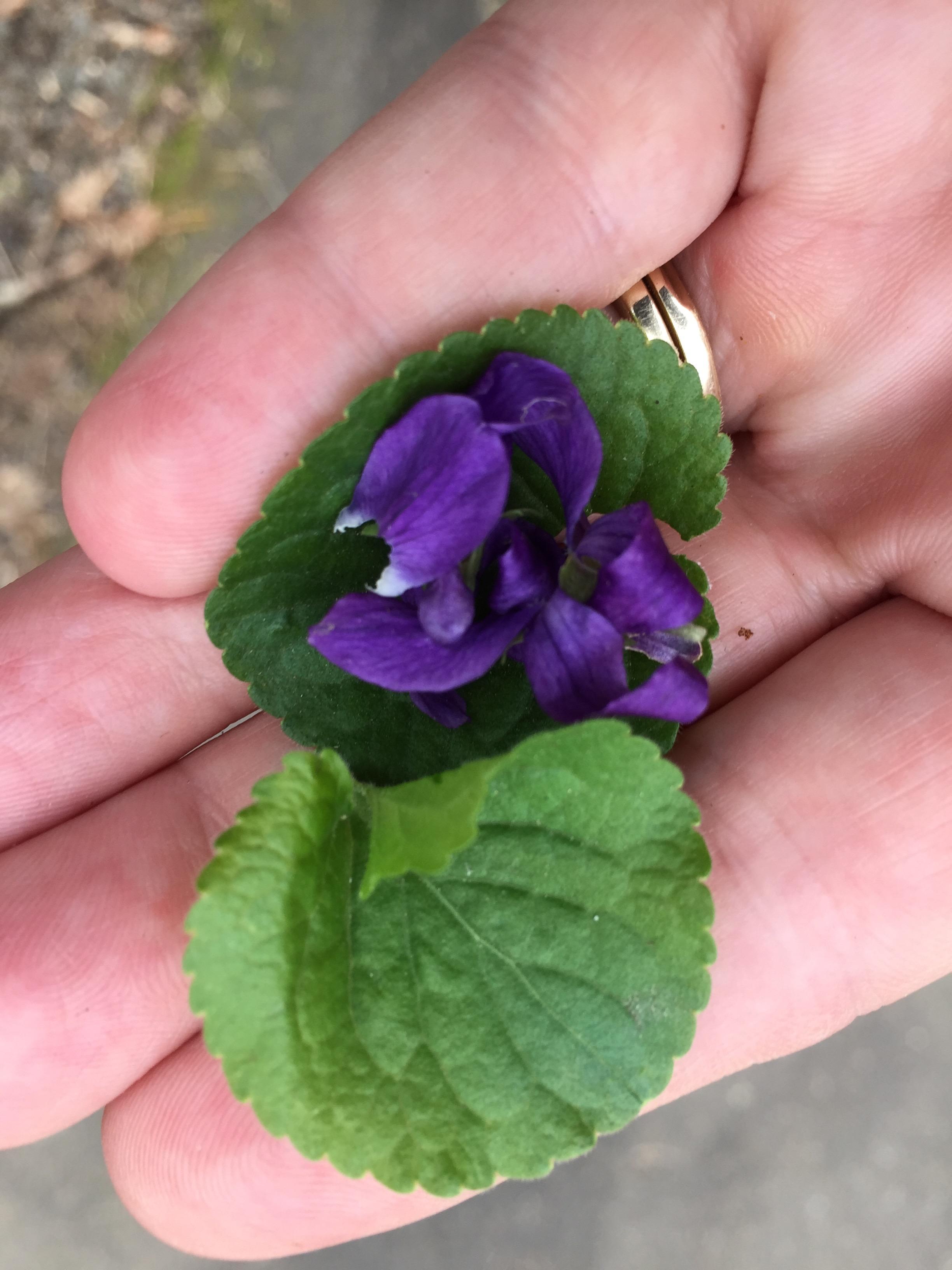Sweet Violet in Hand.jpg