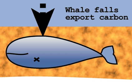 """Figure 3: A whale helps us when it """"falls"""" Source: Seascape Projects"""